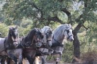 Cuadriga de caballos en Sierra Morena – Yeguada Miguel Sanchez.